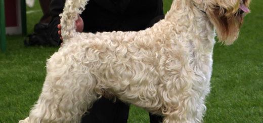 Terrier irlandese a pelo morbido