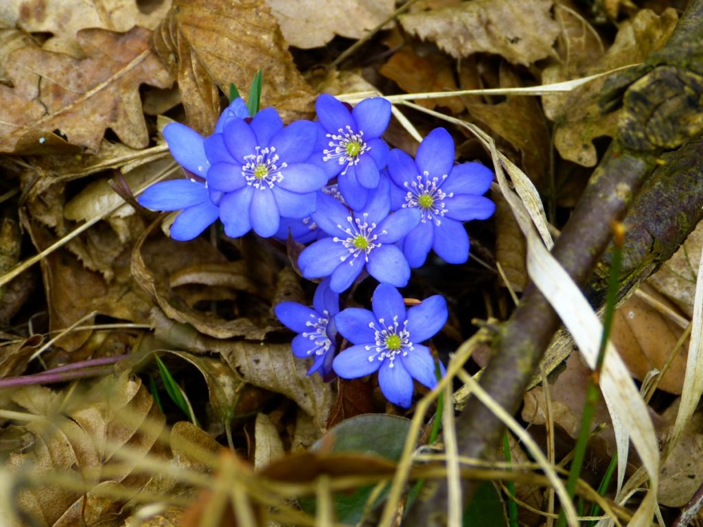 anemone epatica in bosco