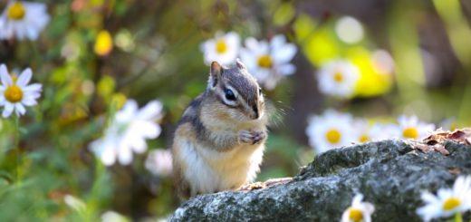 giovane scoiattolo del giappone