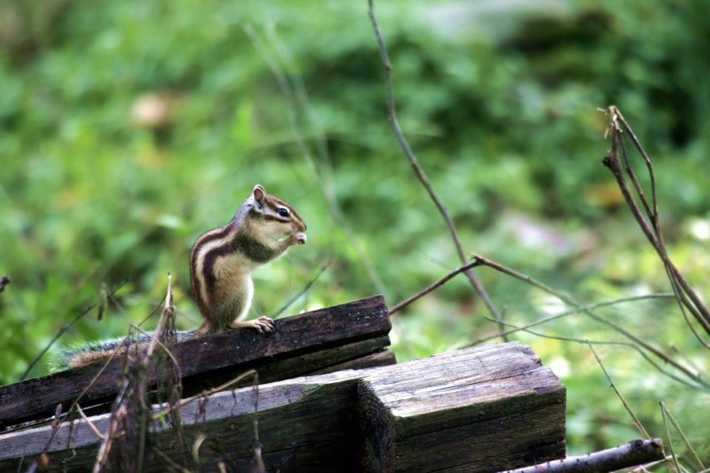 scoiattolo giapponese su tronchi
