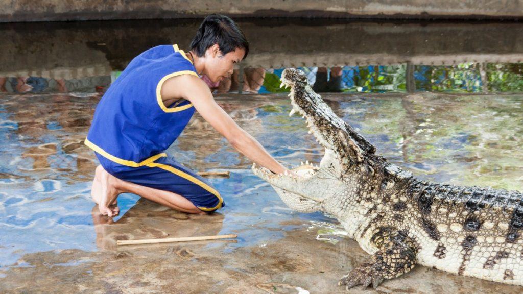 coccodrillo ammaestrato