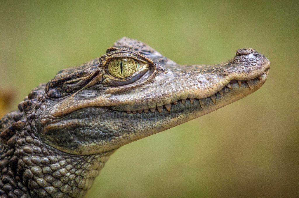 cucciolo di coccodrillo