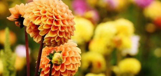 Dalia in fioritura