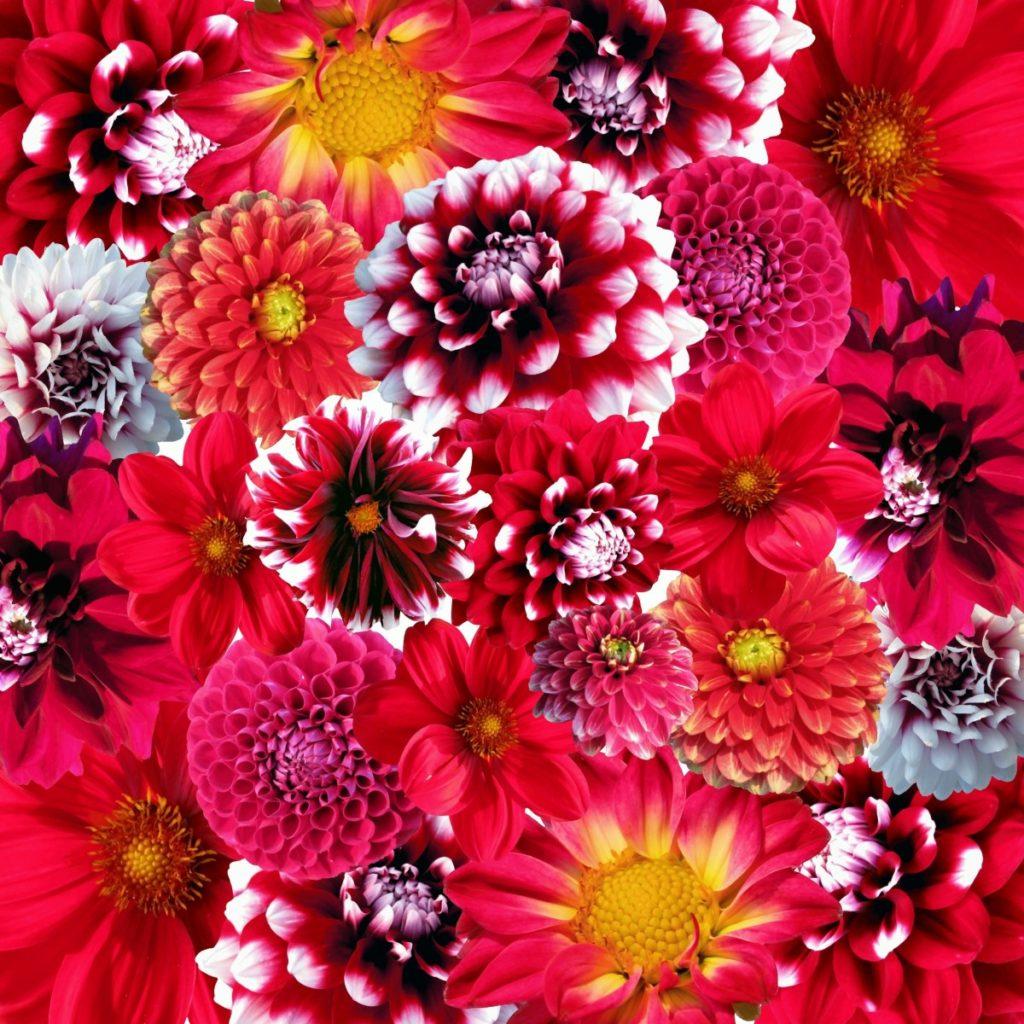 Dalie multicolori