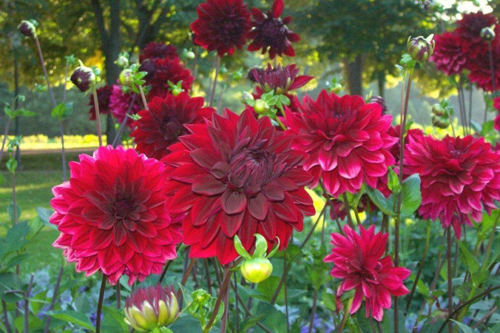 Dalia in un giardino