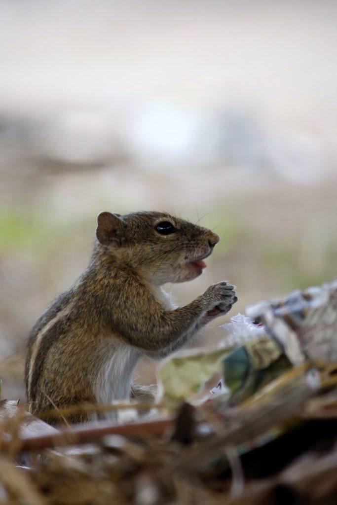 giovane esemplare di chipmunk