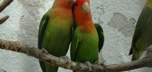 inseparabile o pappagallo dell'amore