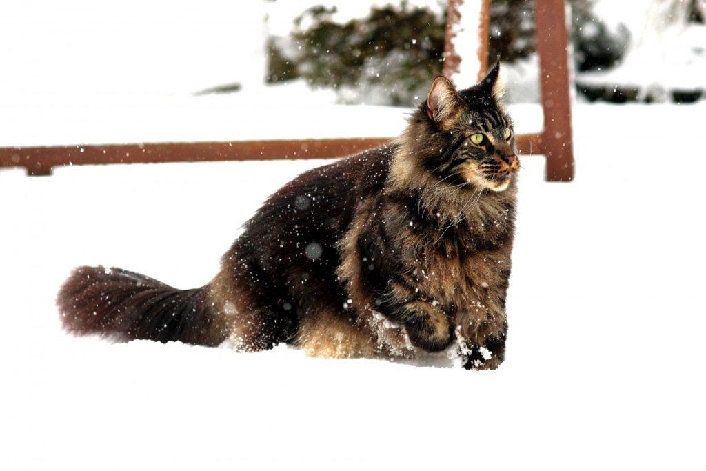gattone nella neve