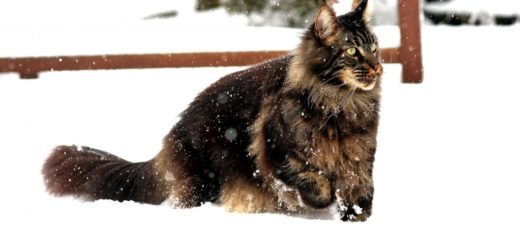 maine coon sulla neve