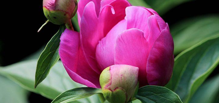 fiori e boccioli di peonia