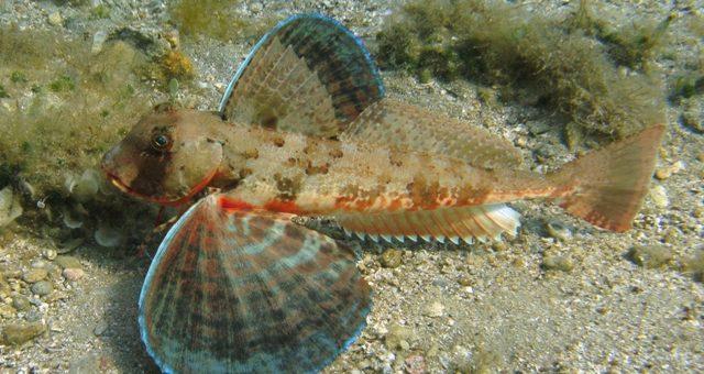 pesce capone o gallinella