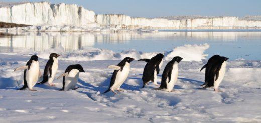 gruppo di pinguini di adelia