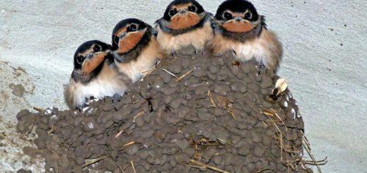 pulcini rondine sul nido di fango impastato