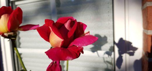 fiore rosa da tè