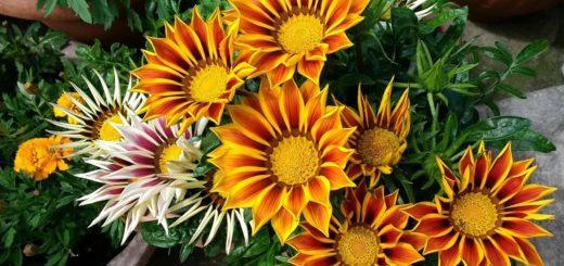 Scheda coltivazione fiore gazania arancione