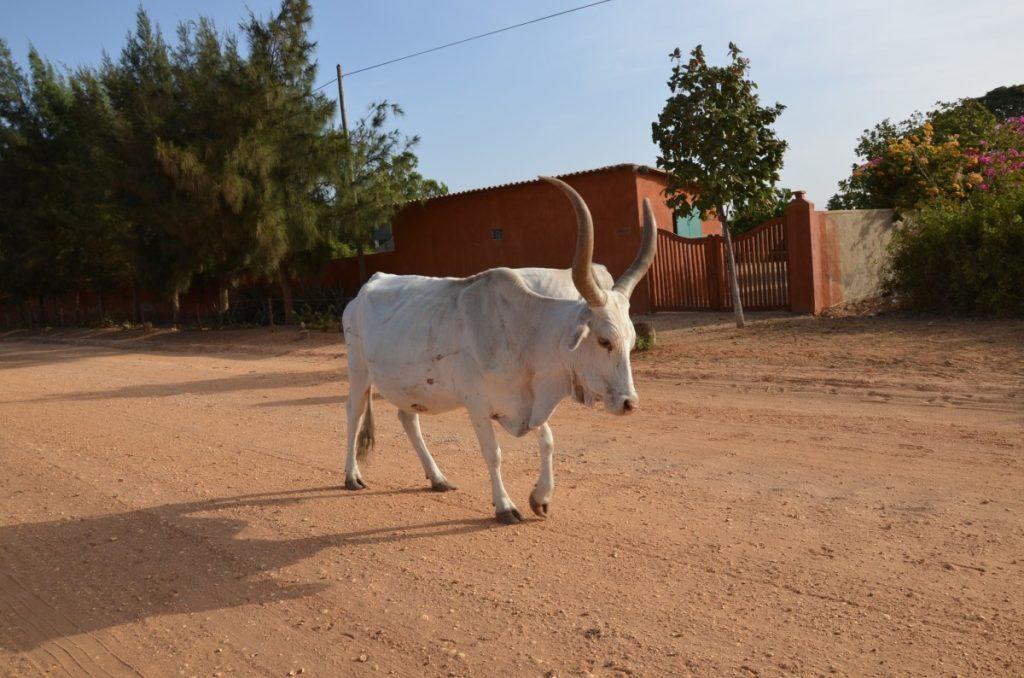 zebù africano