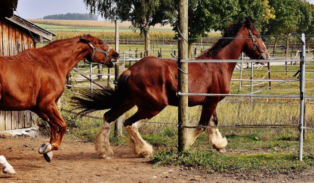 coppia di cavalli shire