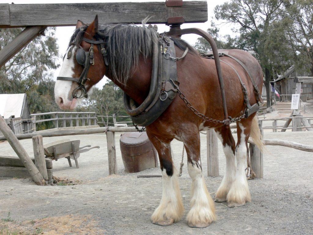 Cavallo Shire con Finimenti