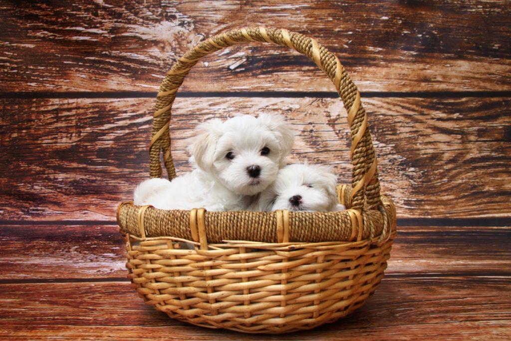 cuccioli in un cesto