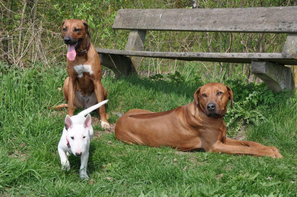 Rhodesian Ridgeback e il loro amico bull terrier
