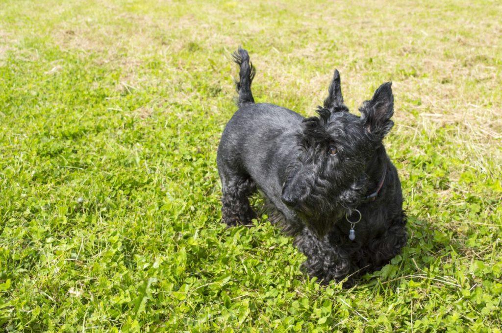 Scottish terrier nero