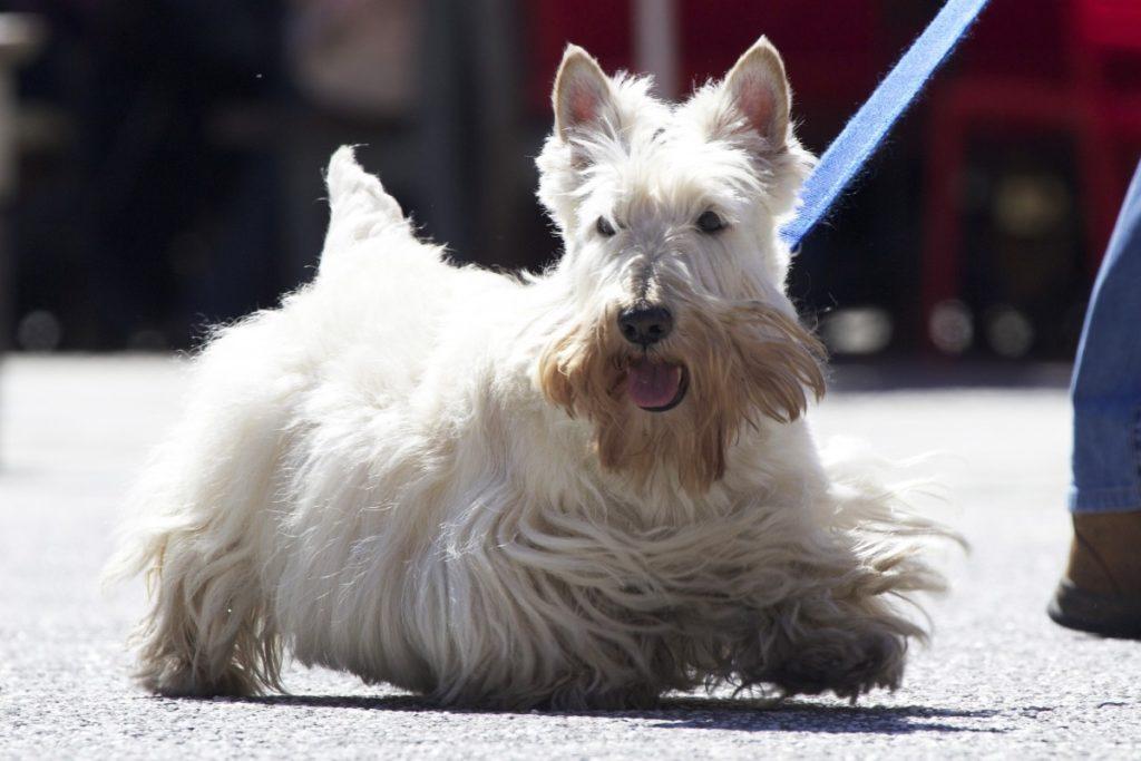 Scottish terrier bianco