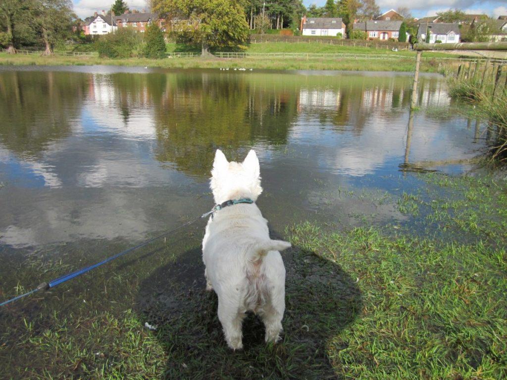 west highland white terrier sul lago