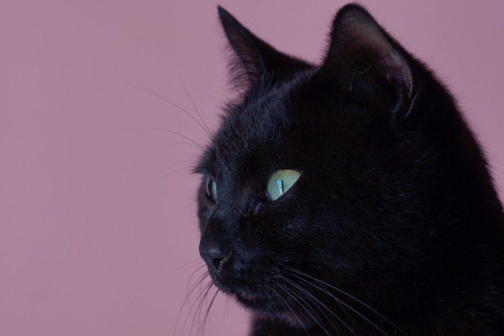 testa gatto Bombay