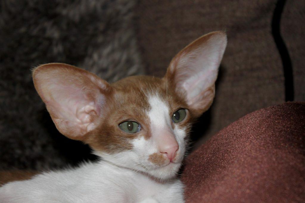 le orecchie del gatto orientale