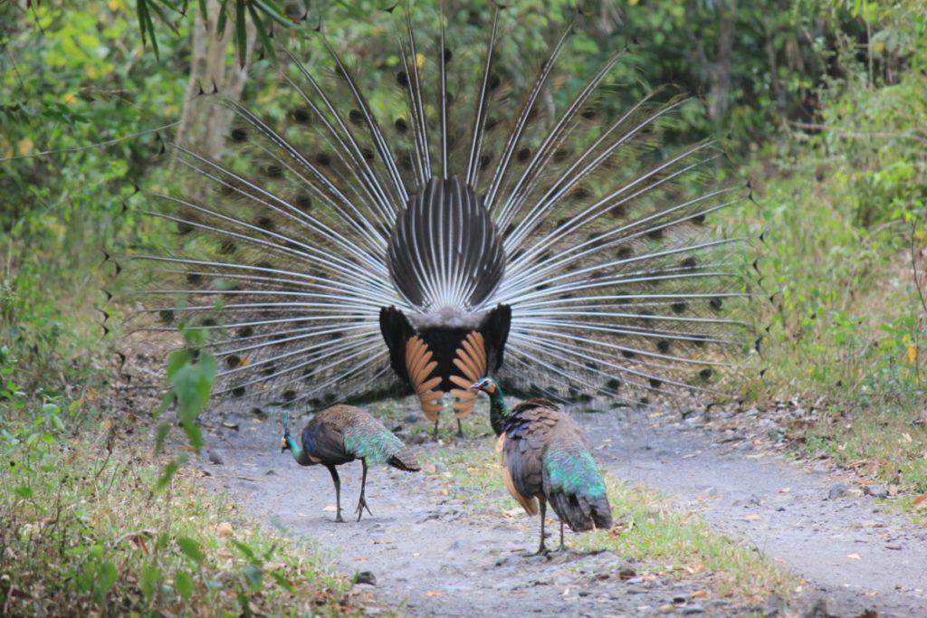 maschio e femmine di pavone