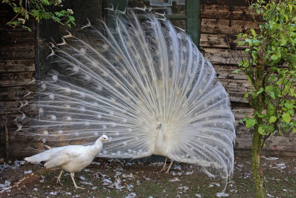 pavone bianco o albino