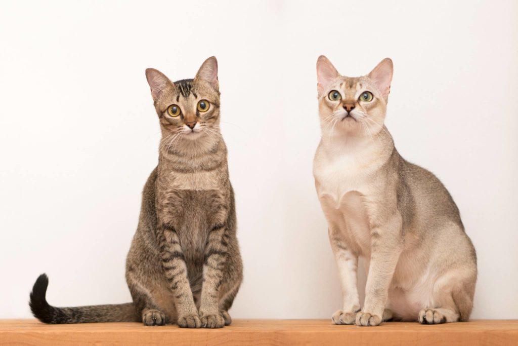 gatti singapura