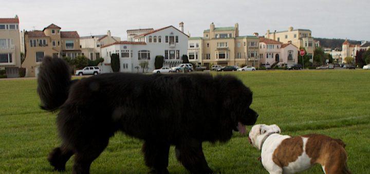 cane di terranova