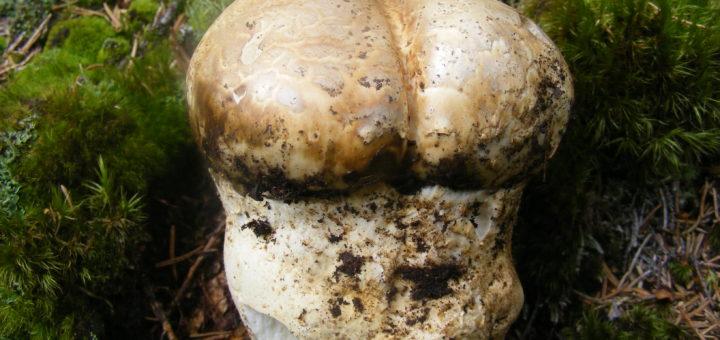 Fungo patata - Biannularia Imperialis