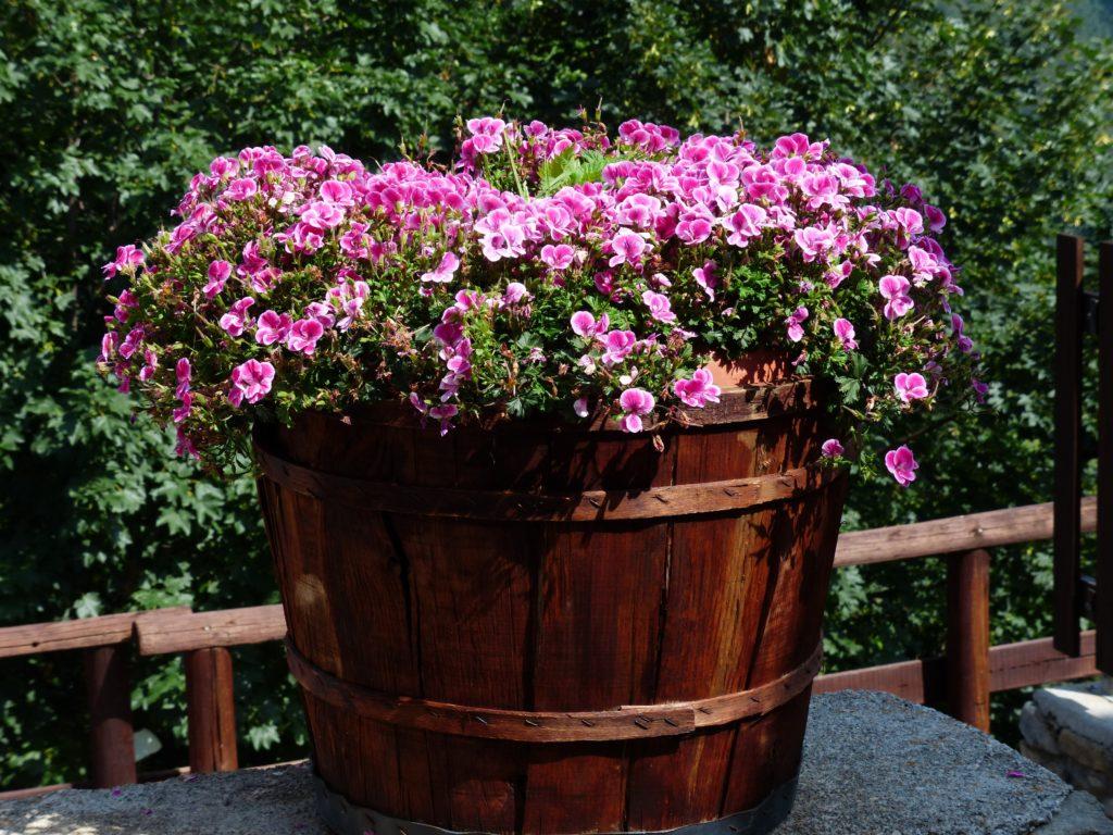 vaso con Pelargonium