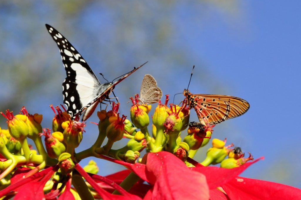 Euforbia con farfalle