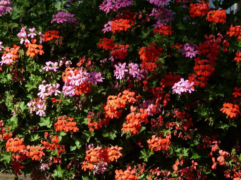 fiori Geranio Pelargonio