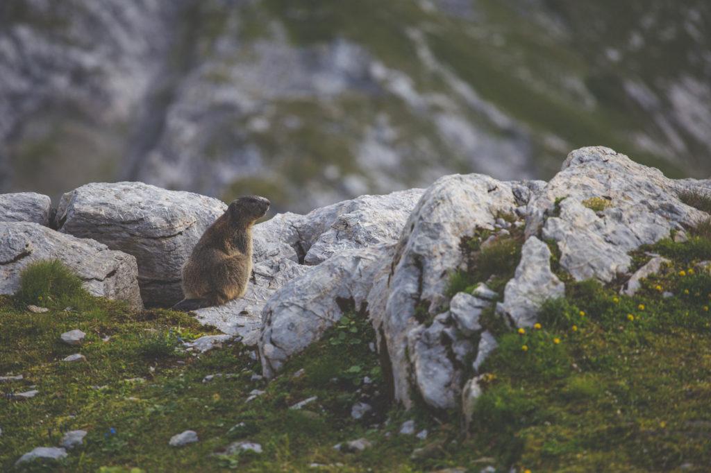 marmotta su rocce